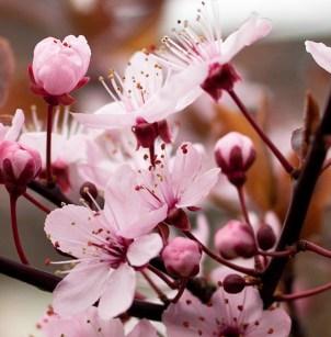 körsbärsblommor IMG_62052