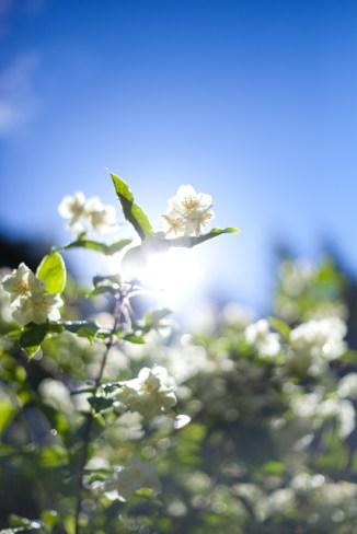 blomma IMG_8756