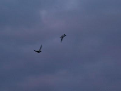 fåglar IMG_9372