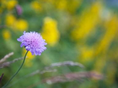 lila blomma IMG_9783