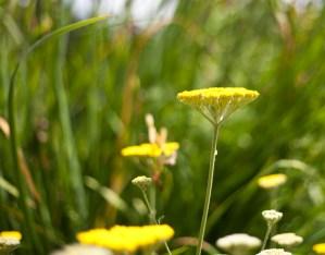 botaniska-gul-blommaIMG_7149