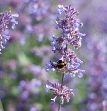 botaniska-lila-blomma-humlaIMG_7156