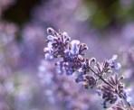 botaniska-lila-blommaIMG_7151