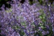 botaniska-lila-blommaIMG_7152