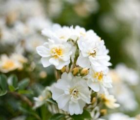 rosor-blommor-botaniskaIMG_7102