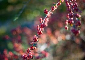 botaniska-röda-bär