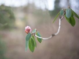 knopp-rosa-vår