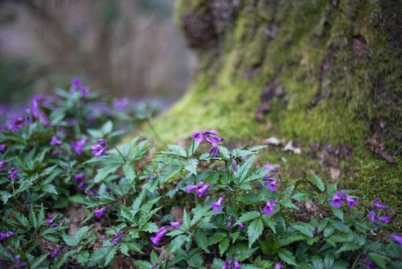 lila-blommor-mossa