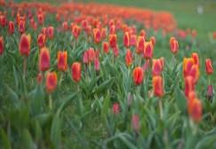 röda-tulpaner