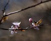 körsbär-skugga