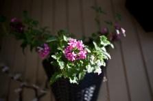 blomma-rosa