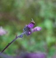 fluga-lila-blomma