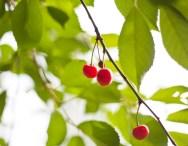 röda-körsbär