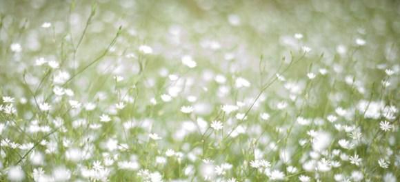 vita-blommor