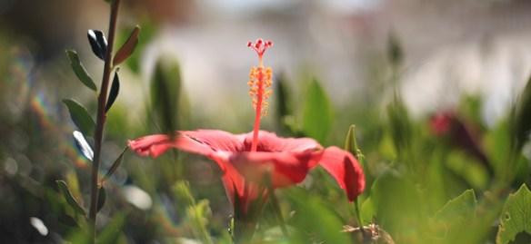 rod-blomma-portugal