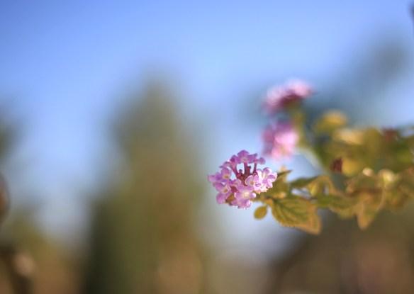 rosa-blomma-portugal