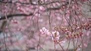 körsbärsblomma-gren