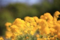 gula--blommor