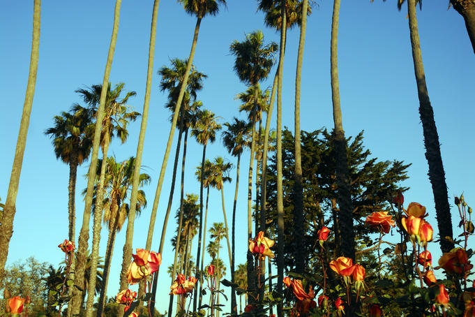 Roses and palm trees in Palisades Park, Santa Monica, late afternoon.