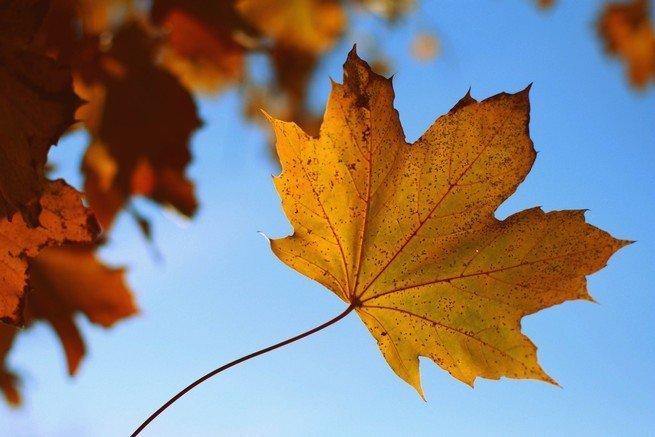 Golden leaf falling