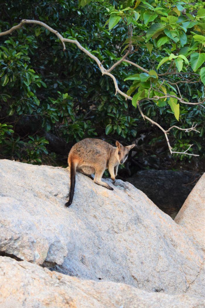se vilda wallabies australien