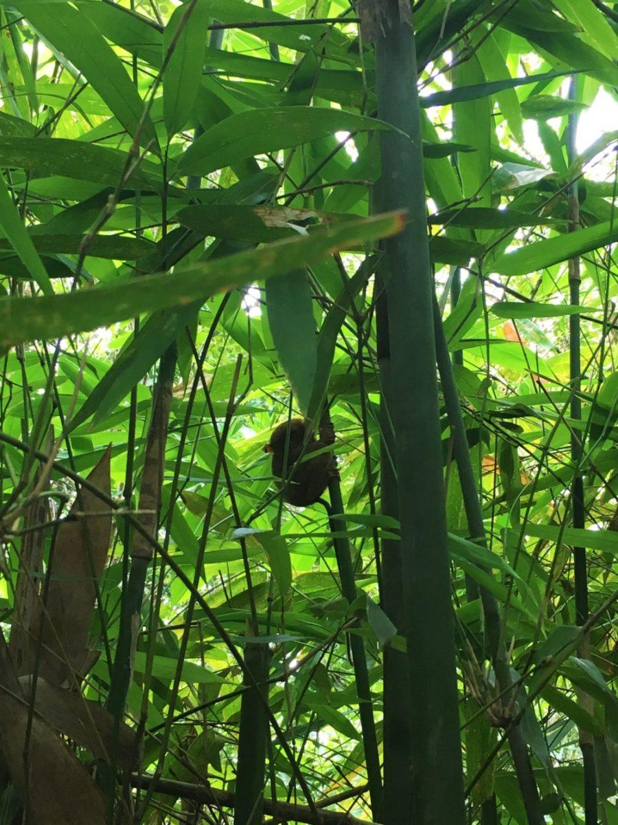 tarsier i träd på bohol