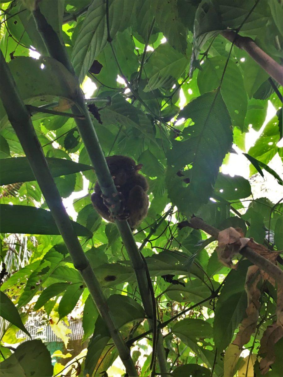 tarsier på tarsier sanctuary