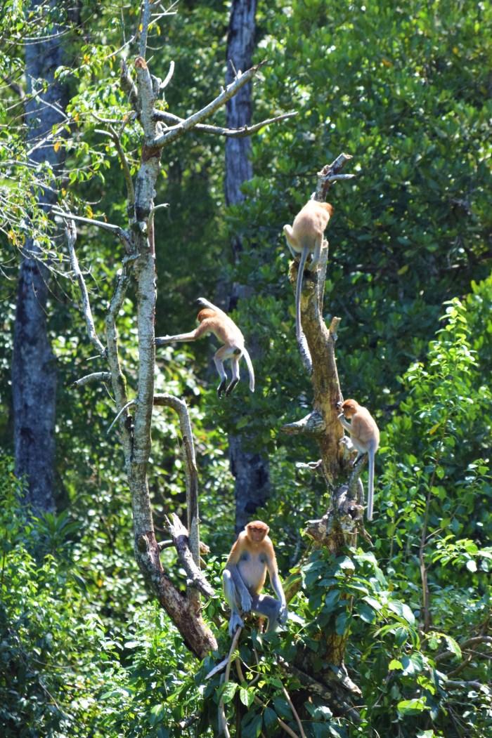 näsapor hoppar i träden på proboscis monkey sanctuary
