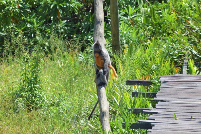 försilvrad bladapa med orange unge på Labuk Bay Proboscis Monkey Sanctuary