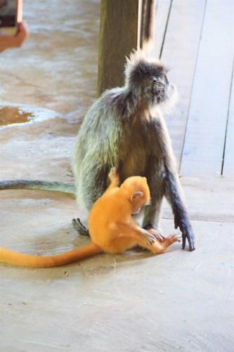 försilvrad bladapa med orange unge