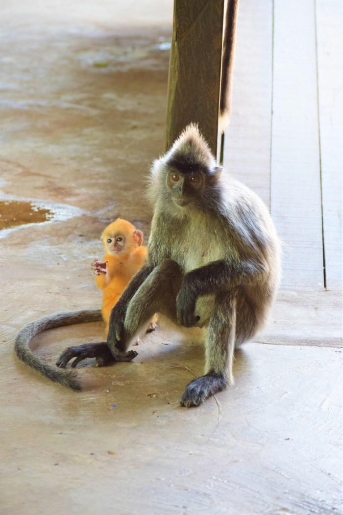 försilvrad bladapa hon och unge i Labuk Bay Proboscis Monkey Sanctuary