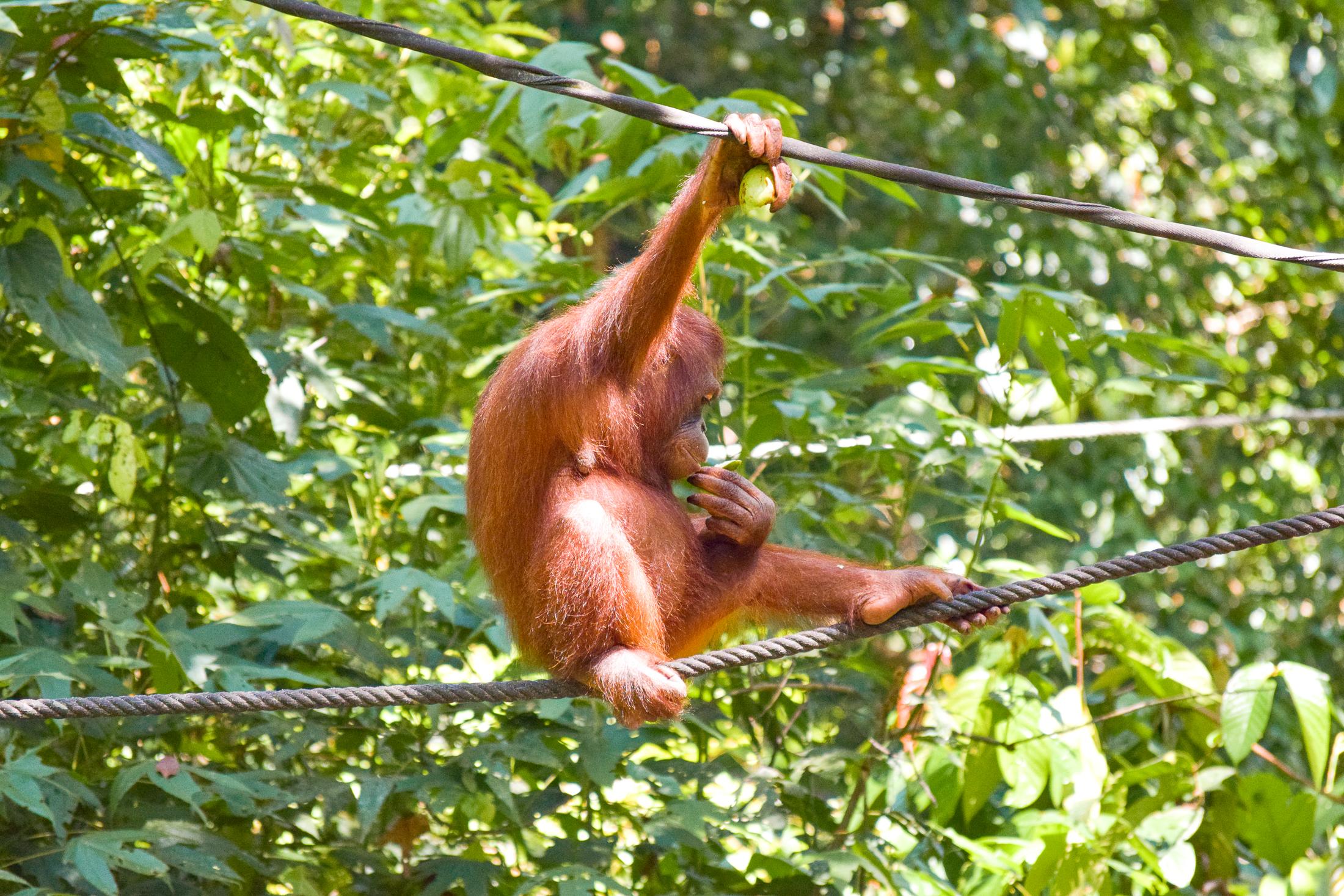 Orangutang sitter på ett rep i Sepilok rehabilitation centre.