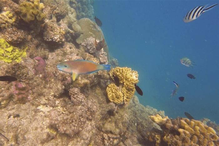dyka i stora barriärrevet