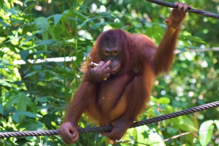 orangutang i rehabilitaion centre i sepilok