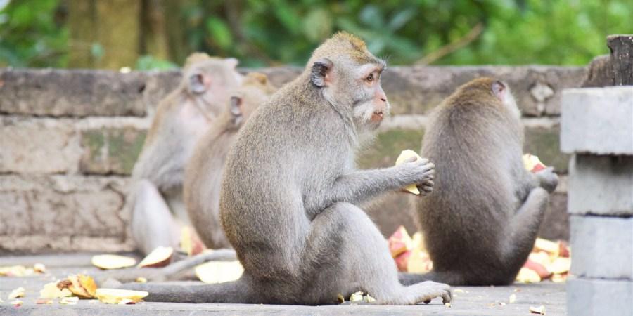 apa äter frukt monkey forest