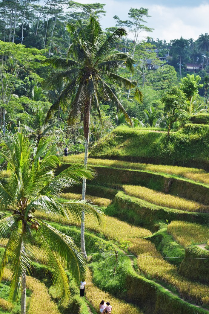 palmer vid tegalalangs risterrasser