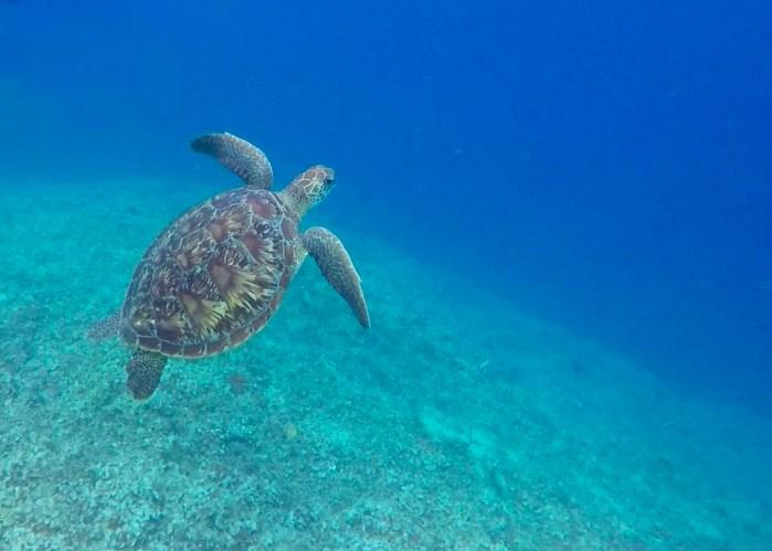 sköldpadda simmar i havet vid gili air.