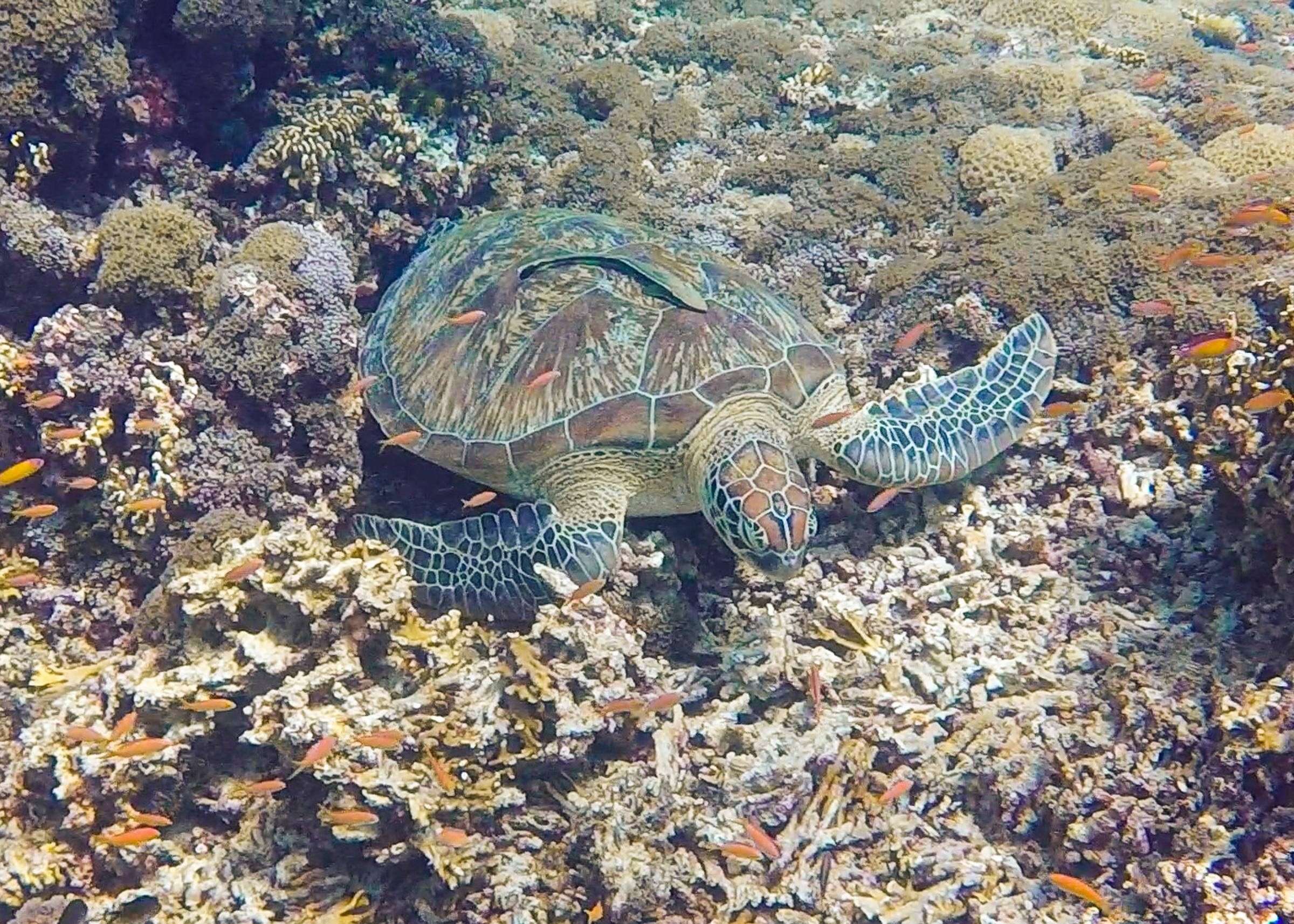 sköldpadda på botten vid gili air.