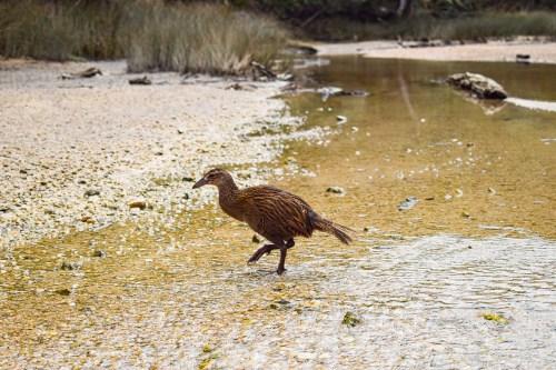 weka-fågel i abel tasman nationalpark.