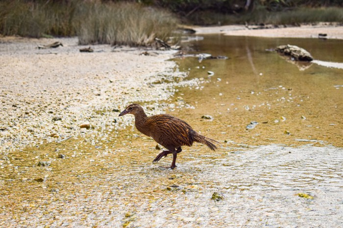 weka-fågel i abel tasman nationalpark.