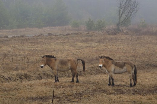 In a field across the road from Alexandr Sirota's house in Ukraine, just outside the irradiated 18-mile off-limits zone, wild Przewalski's horses graze. They're endangered, wiped out in many of their former ranges, but seem to be thriving around Sirota's house not far from the site of the Chernobyl power plant accident. // Claudia Himmelreich / McClatchy