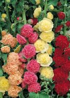 Roses trémières doubles
