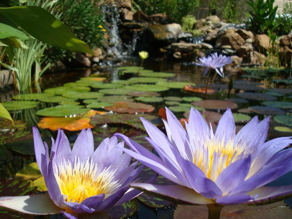 Beautiful Water Lilies In A Koi Pond From Berkshire