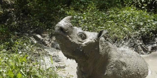 Morte do último rinoceronte-de-sumatra macho na Malásia aproxima espécie da extinção