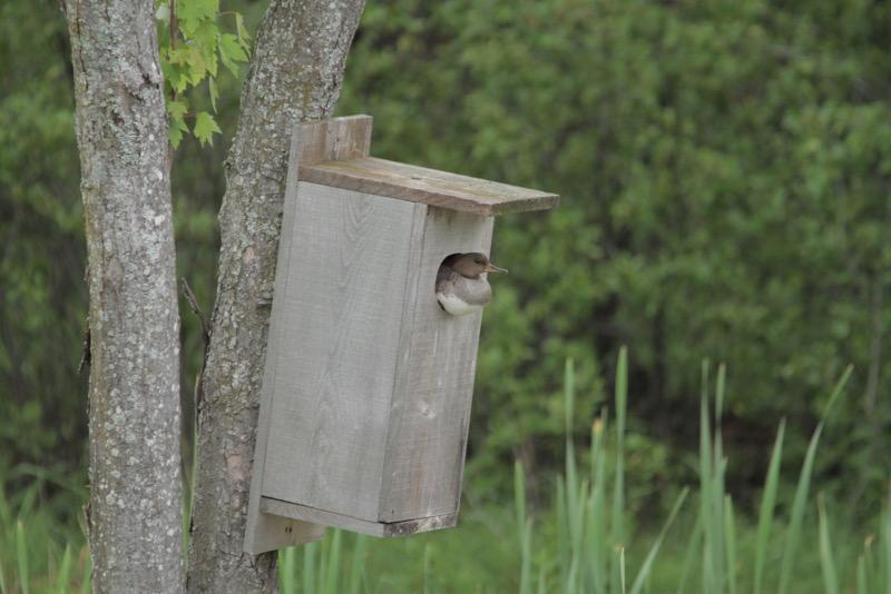Female guarding the box