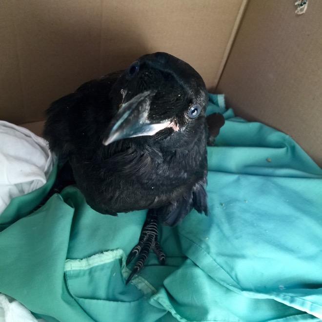 Raven eyeing me