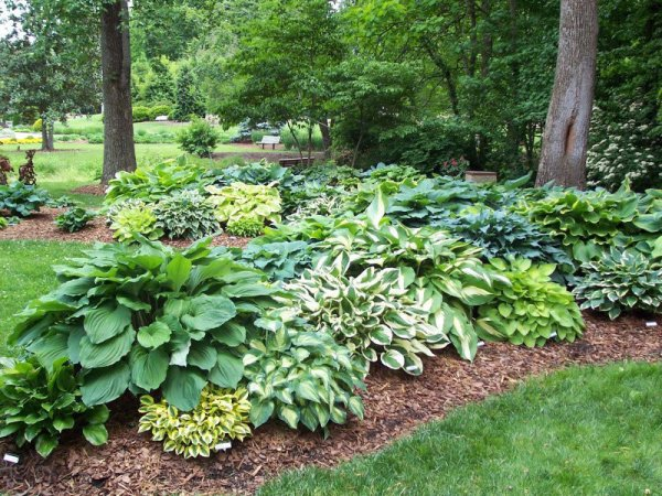 lawn and garden hosta's toughness