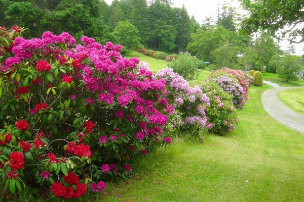 lawn and garden rhododendrons