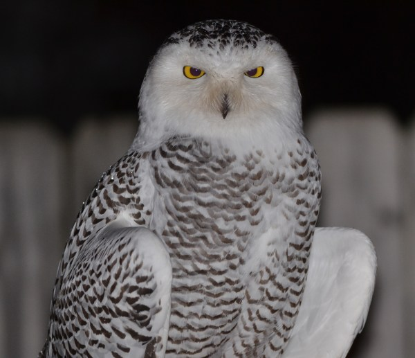 Snowy Owls Flocking Great Lakes In Big Numbers Winter