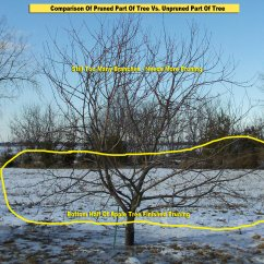 How To Prune An Apple Tree Diagram Read Automotive Wiring Diagrams For Dummies Pruning Peach Trees Elsavadorla